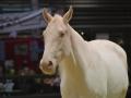 Equita Lyon 2017 _ Cabaret Equestre_20171101_2800 _ Iseulys DESLE - Copyright Gerard SANCHEZ-ALLAIS.jpg